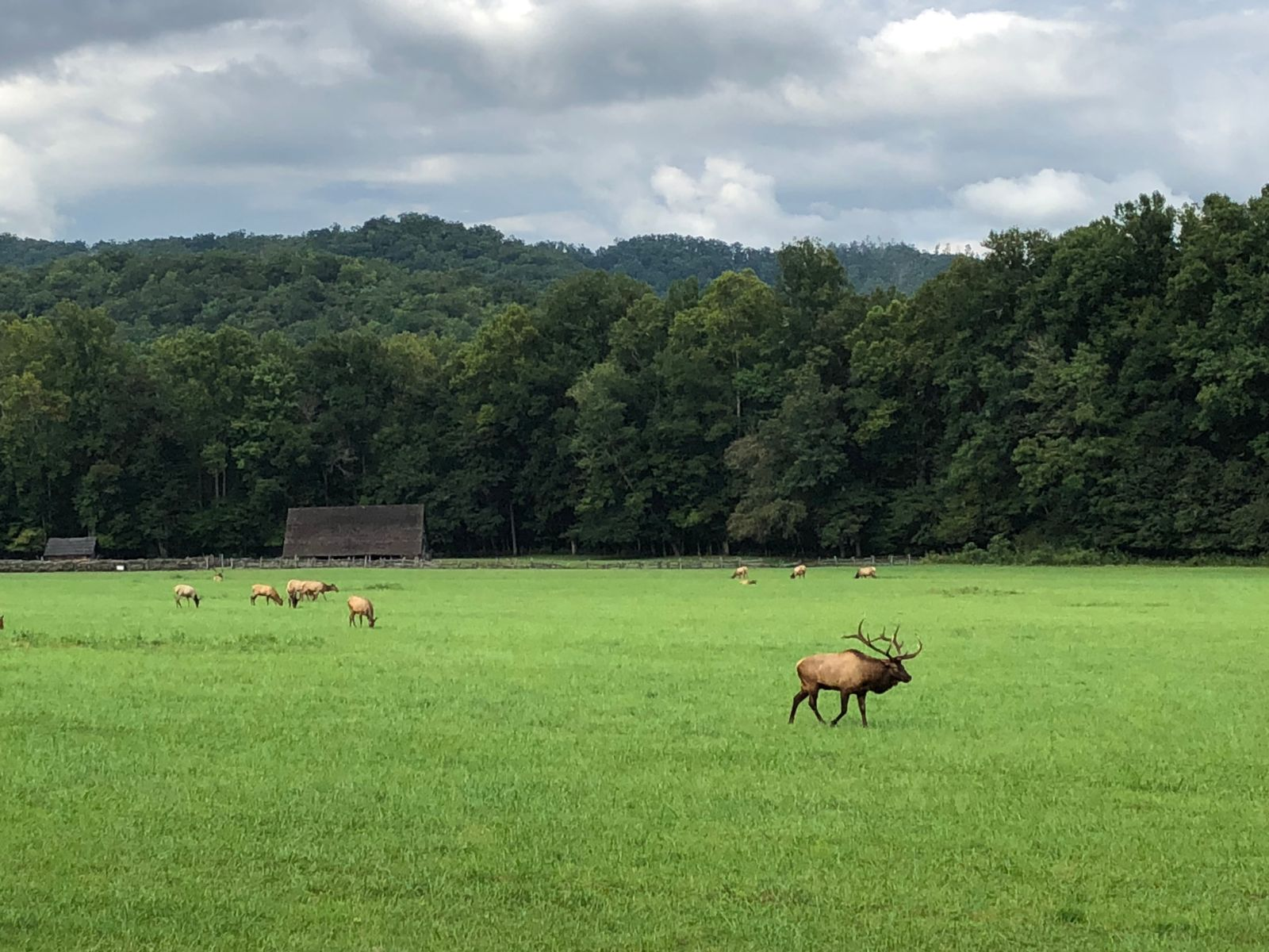 Elk at Oconaluftee - photo by Jason Frye