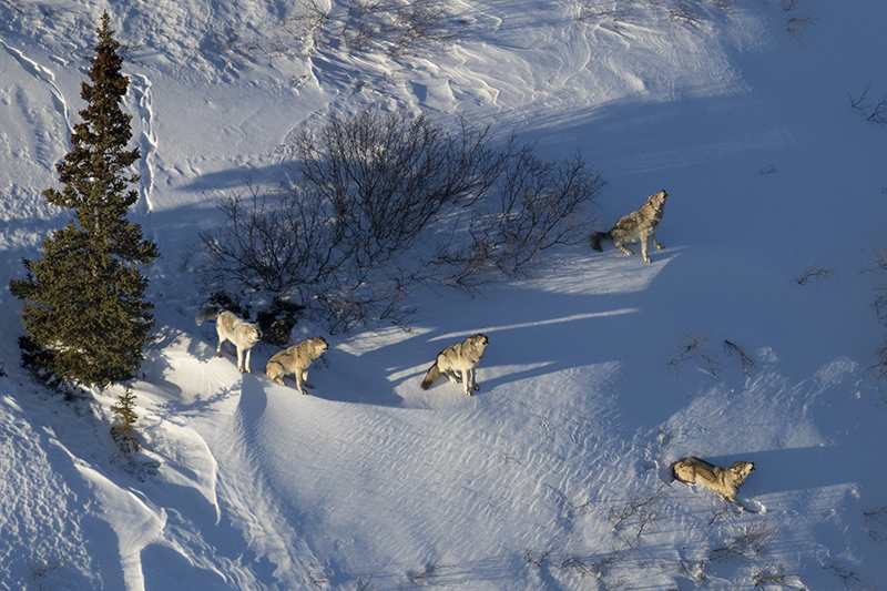 Wolves in Denali National Park, photo by Aaron Huey